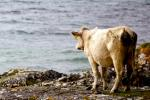 The old cow and the sea
